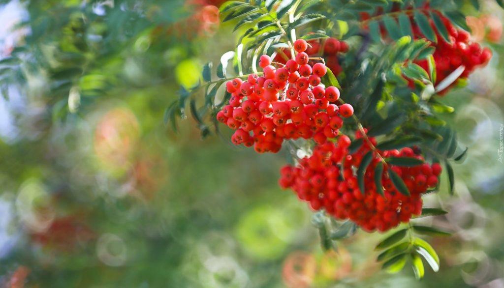 tapeta-owoce-jarzebiny-na-galazce-w-rozmyciu